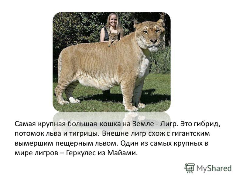 Самая крупная большая кошка на Земле - Лигр. Это гибрид, потомок льва и тигрицы. Внешне лигр схож с гигантским вымершим пещерным львом. Один из самых крупных в мире лигров – Геркулес из Майами.