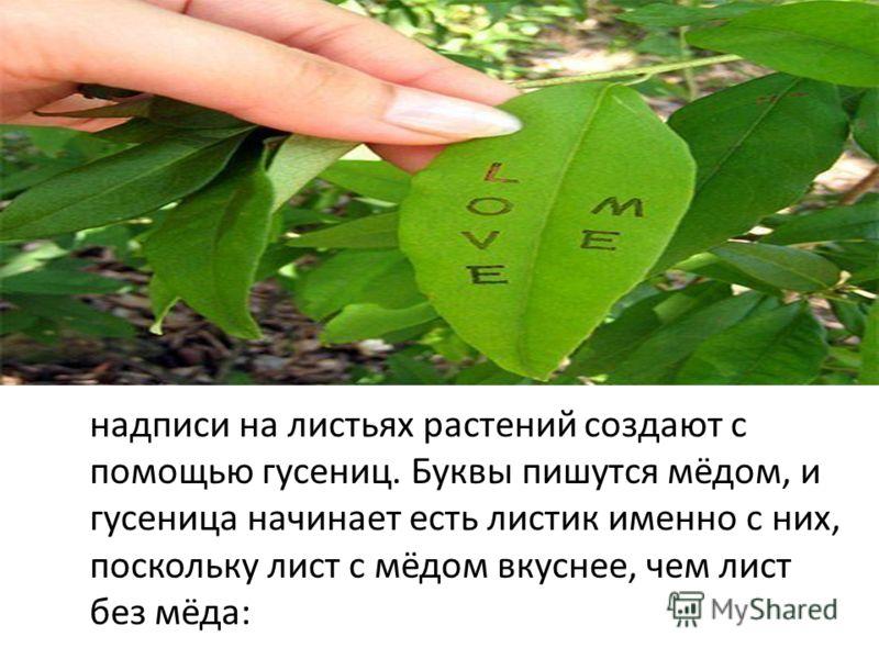 надписи на листьях растений создают с помощью гусениц. Буквы пишутся мёдом, и гусеница начинает есть листик именно с них, поскольку лист с мёдом вкуснее, чем лист без мёда: