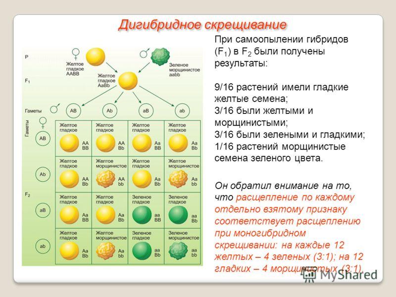 При самоопылении гибридов (F 1 ) в F 2 были получены результаты: 9/16 растений имели гладкие желтые семена; 3/16 были желтыми и морщинистыми; 3/16 были зелеными и гладкими; 1/16 растений морщинистые семена зеленого цвета. Он обратил внимание на то, ч