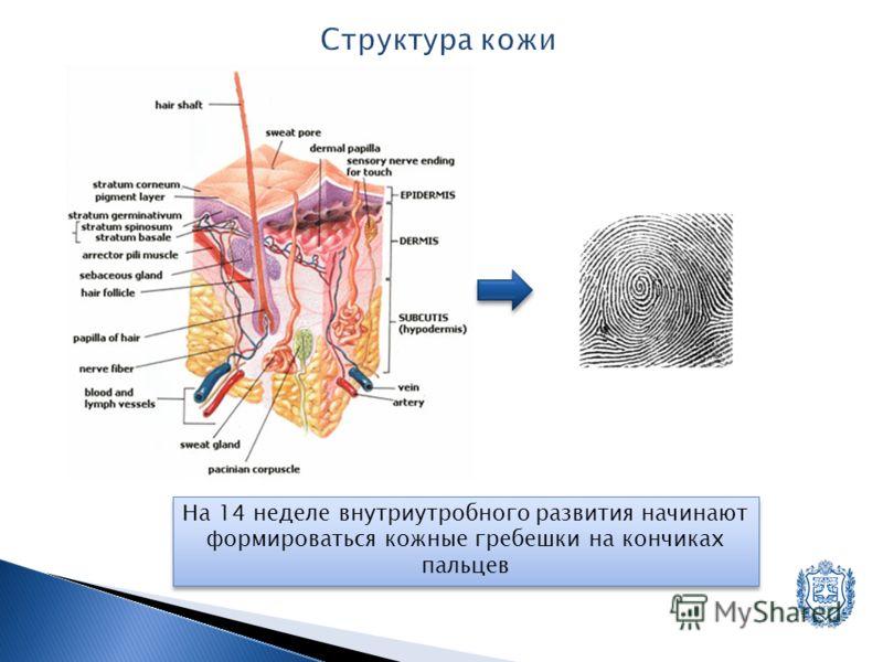 На 14 неделе внутриутробного развития начинают формироваться кожные гребешки на кончиках пальцев