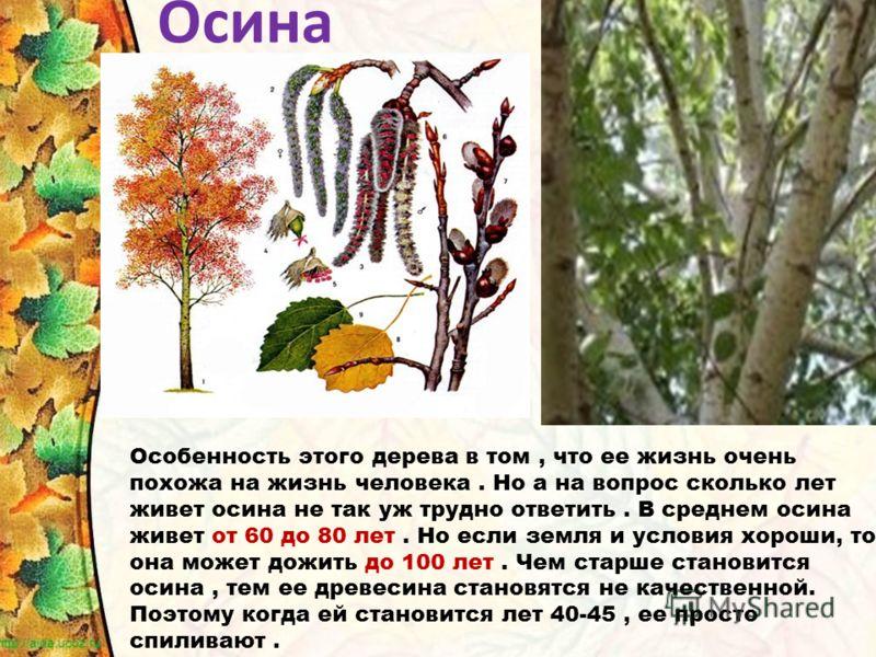 Особенность этого дерева в том, что ее жизнь очень похожа на жизнь человека. Но а на вопрос сколько лет живет осина не так уж трудно ответить. В среднем осина живет от 60 до 80 лет. Но если земля и условия хороши, то она может дожить до 100 лет. Чем