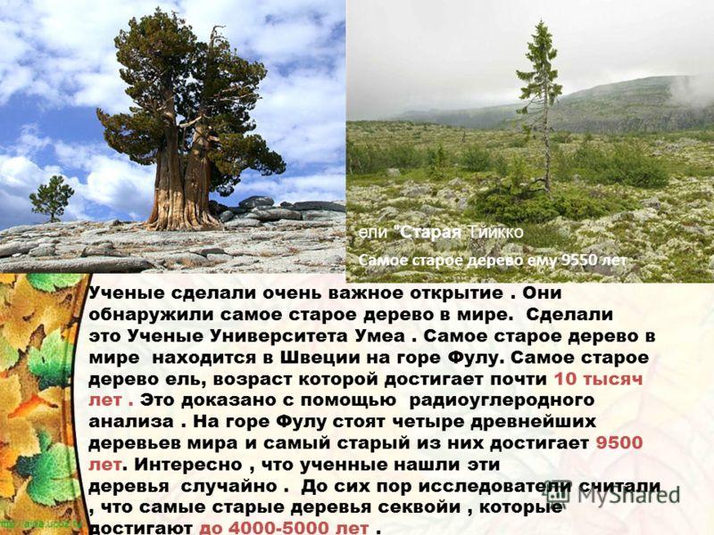 Ученые сделали очень важное открытие. Они обнаружили самое старое дерево в мире. Сделали это Ученые Университета Умеа. Самое старое дерево в мире находится в Швеции на горе Фулу. Самое старое дерево ель, возраст которой достигает почти 10 тысяч лет.