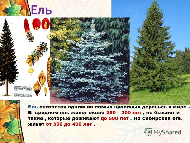 Ель считается одним из самых красивых деревьев в мире. В среднем ель живет около 250 – 300 лет, но бывают и такие, которые доживают до 500 лет. Но сибирская ель живет от 350 до 400 лет. Ель