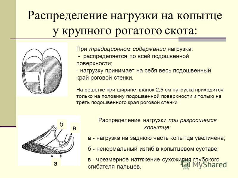 Распределение нагрузки на копытце у крупного рогатого скота: При традиционном содержании нагрузка: - распределяется по всей подошвенной поверхности; - нагрузку принимает на себя весь подошвенный край роговой стенки. На решетке при ширине планок 2,5 с