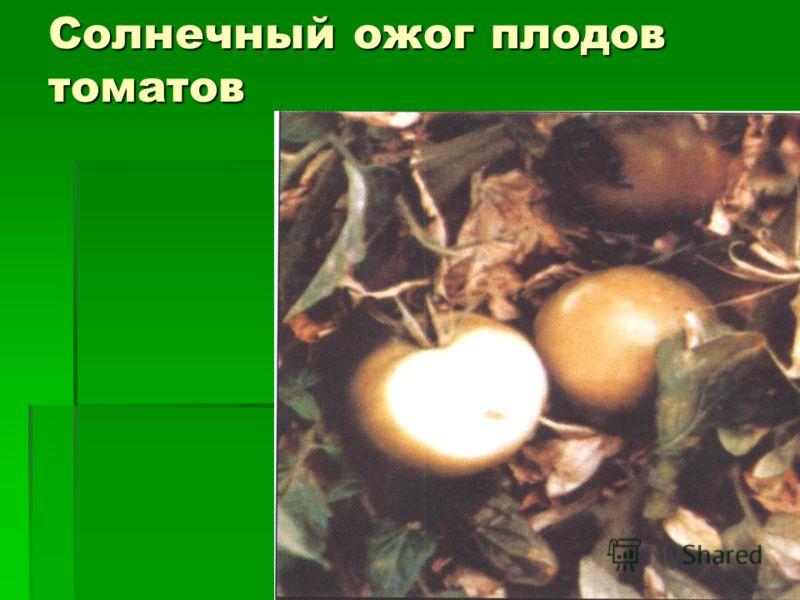 Солнечный ожог плодов томатов