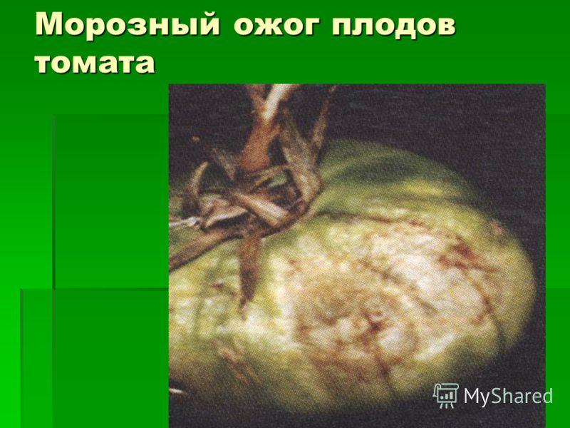 Морозный ожог плодов томата