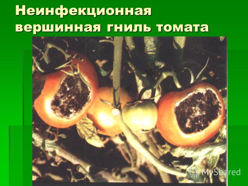 Неинфекционная вершинная гниль томата