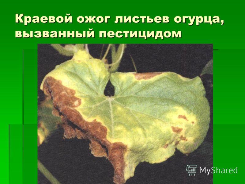 Краевой ожог листьев огурца, вызванный пестицидом