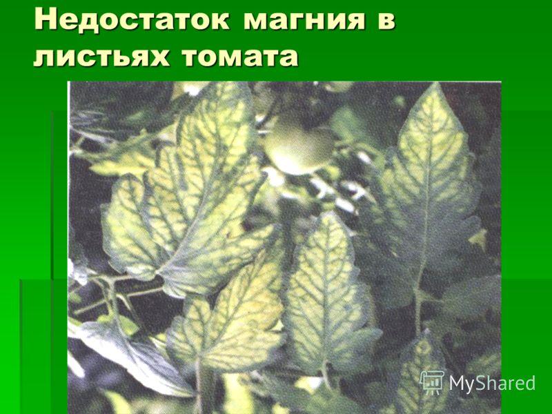 Недостаток магния в листьях томата