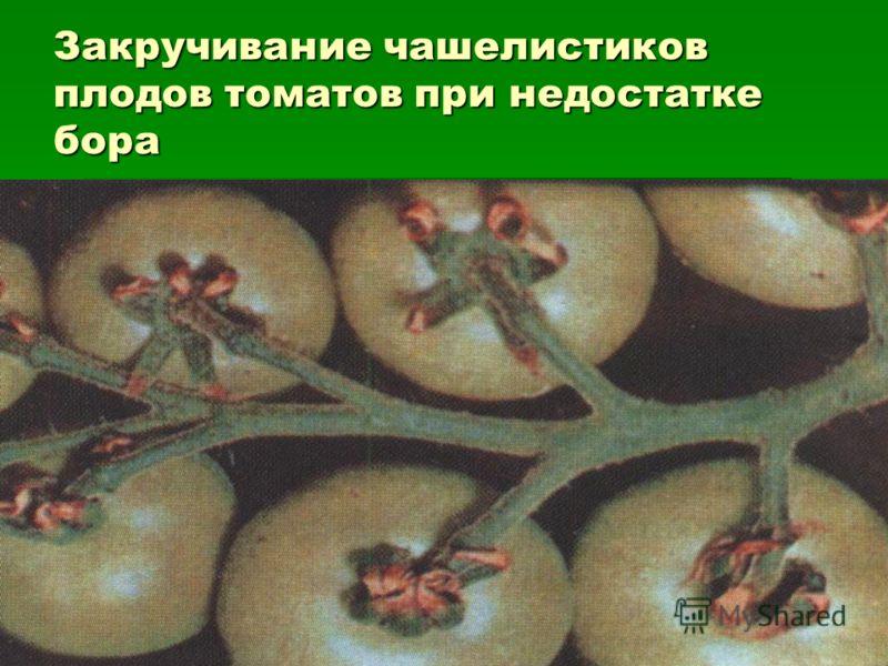 Закручивание чашелистиков плодов томатов при недостатке бора