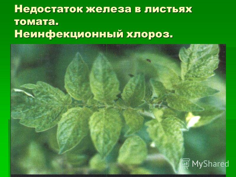 Недостаток железа в листьях томата. Неинфекционный хлороз.
