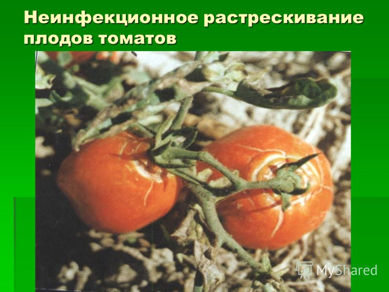 Неинфекционное растрескивание плодов томатов
