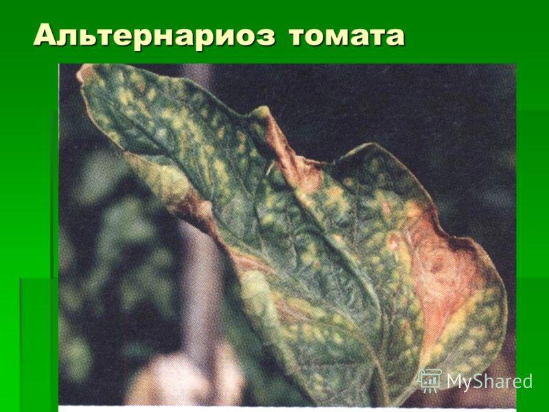 Альтернариоз томата