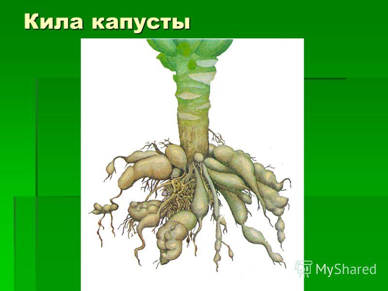Кила капусты