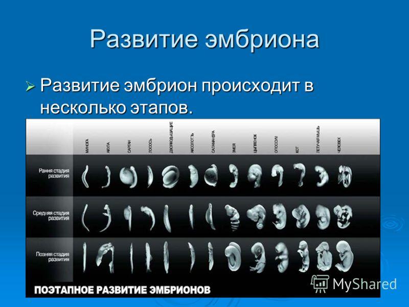 Развитие эмбриона Развитие эмбрион происходит в несколько этапов. Развитие эмбрион происходит в несколько этапов.