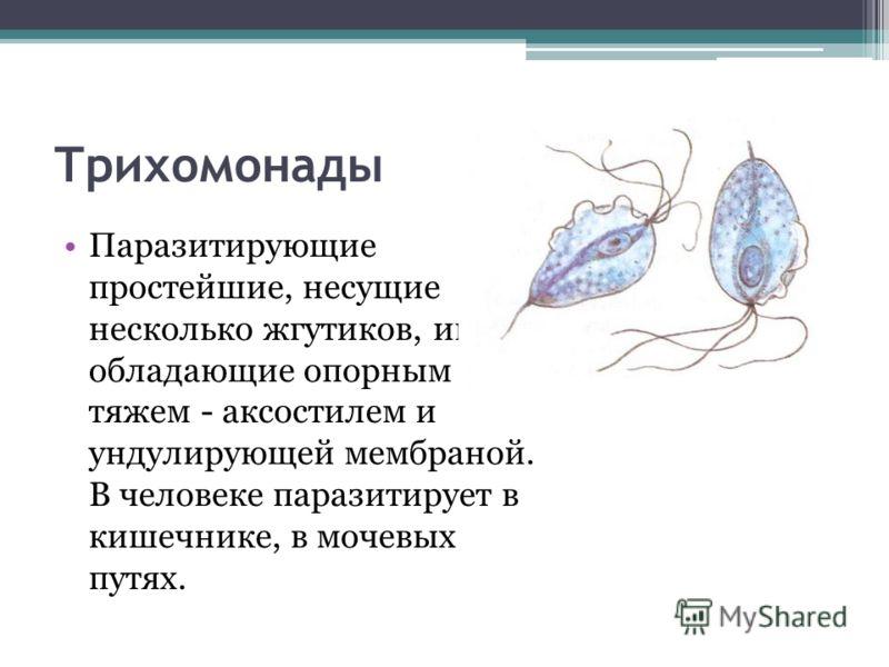 Трихомонады Паразитирующие простейшие, несущие несколько жгутиков, иногда обладающие опорным тяжем - аксостилем и ундулирующей мембраной. В человеке паразитирует в кишечнике, в мочевых путях.