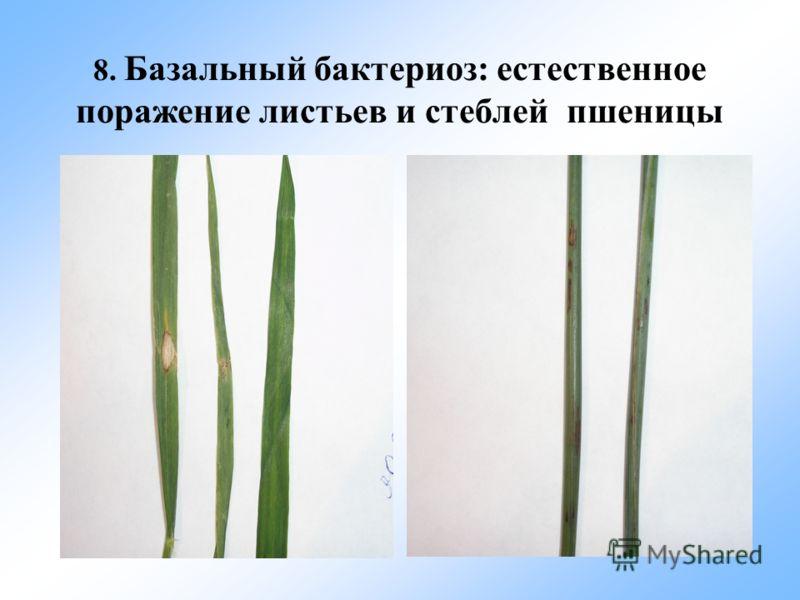 8. Базальный бактериоз: естественное поражение листьев и стеблей пшеницы