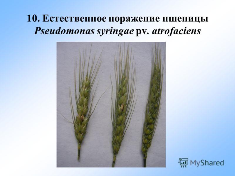 10. Естественное поражение пшеницы Pseudomonas syringae pv. atrofaciens