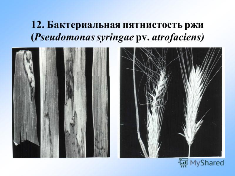 12. Бактериальная пятнистость ржи (Pseudomonas syringae pv. atrofaciens)