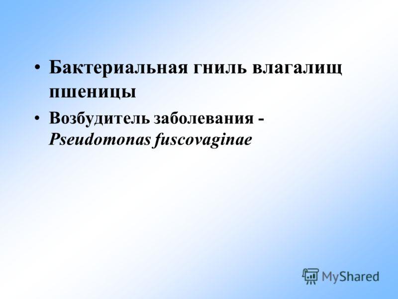 Бактериальная гниль влагалищ пшеницы Возбудитель заболевания - Pseudomonas fuscovaginae