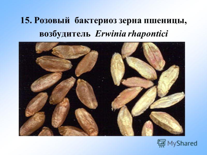 15. Розовый бактериоз зерна пшеницы, возбудитель Erwinia rhapontici