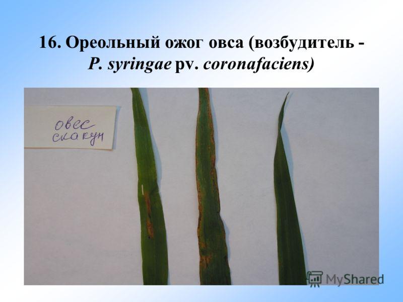 16. Ореольный ожог овса (возбудитель - P. syringae pv. coronafaciens)
