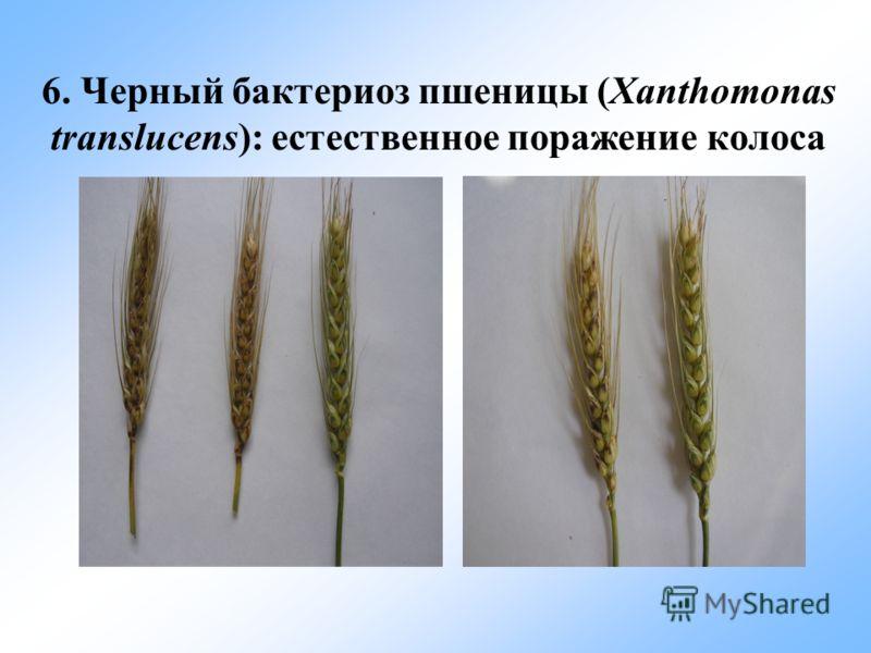 6. Черный бактериоз пшеницы (Xanthomonas translucens): естественное поражение колоса