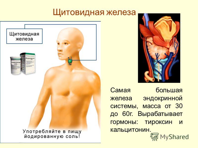 Щитовидная железа Самая большая железа эндокринной системы, масса от 30 до 60г. Вырабатывает гормоны: тироксин и кальцитонин.