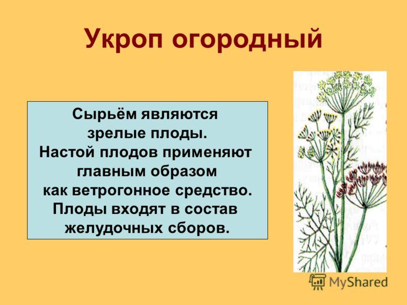 Укроп огородный Сырьём являются зрелые плоды. Настой плодов применяют главным образом как ветрогонное средство. Плоды входят в состав желудочных сборов.