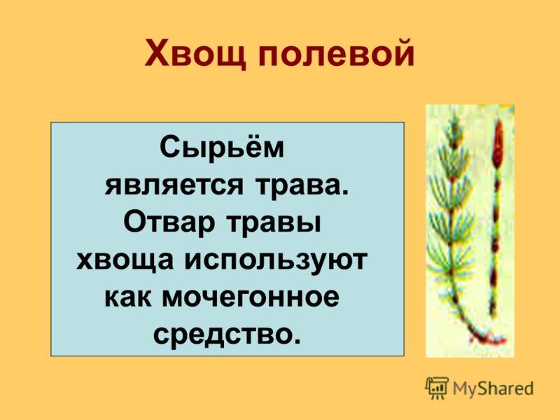 Хвощ полевой Сырьём является трава. Отвар травы хвоща используют как мочегонное средство.