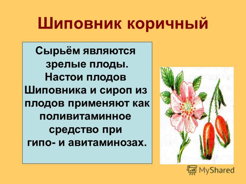 Шиповник коричный Сырьём являются зрелые плоды. Настои плодов Шиповника и сироп из плодов применяют как поливитаминное средство при гипо- и авитаминозах.