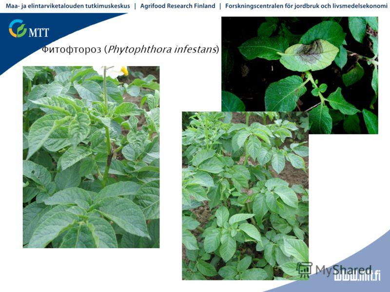 Фитофтороз (Phytophthora infestans)