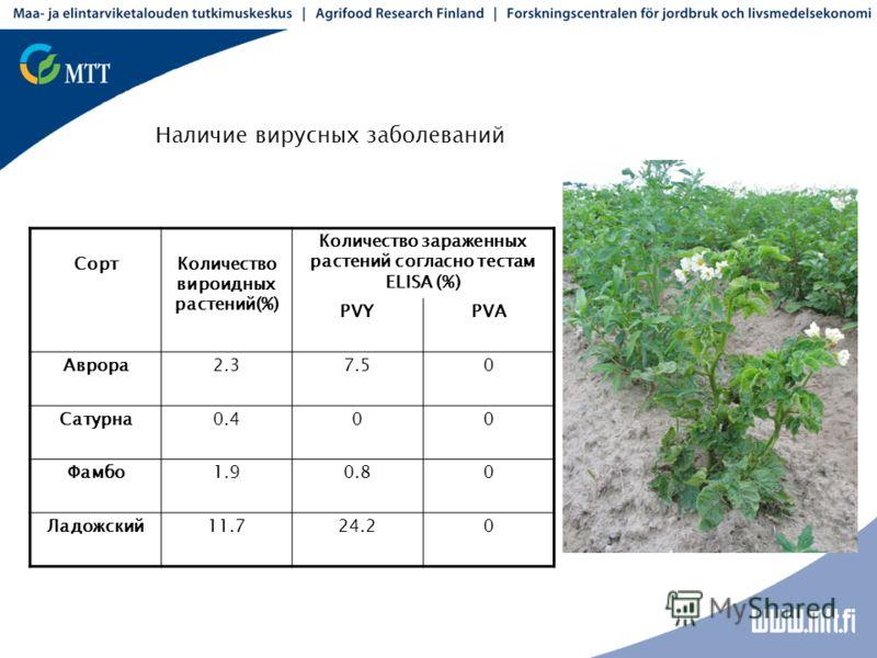 СортКоличество вироидных растений(%) Количество зараженных растений согласно тестам ELISA (%) PVYPVA Аврора2.37.50 Сатурна0.400 Фамбо1.90.80 Ладожский11.724.20 Наличие вирусных заболеваний