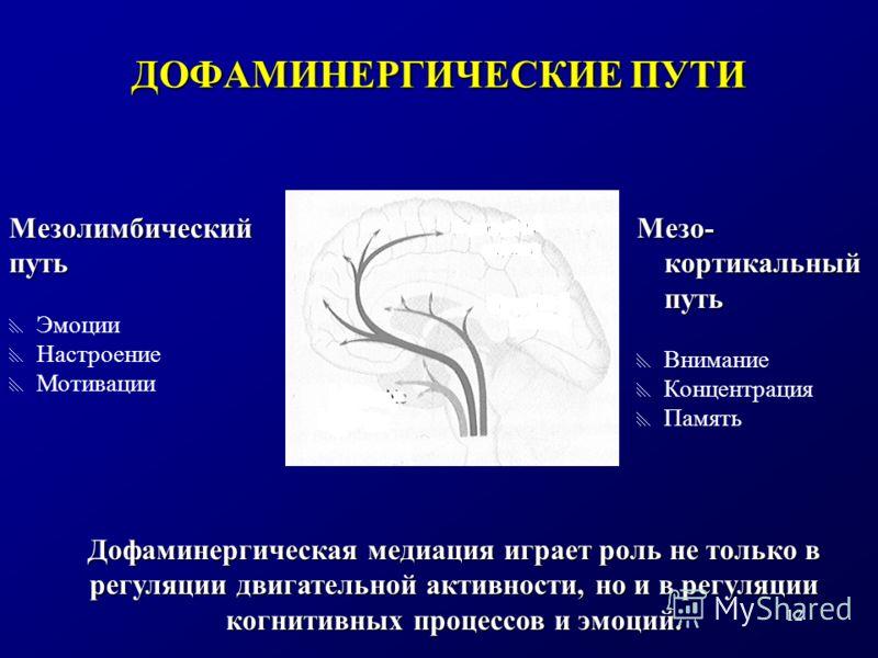 12 Мезо- кортикальный путь Внимание Концентрация Память ДОФАМИНЕРГИЧЕСКИЕ ПУТИ Мезолимбическийпуть Эмоции Настроение Мотивации Дофаминергическая медиация играет роль не только в регуляции двигательной активности, но и в регуляции когнитивных процессо