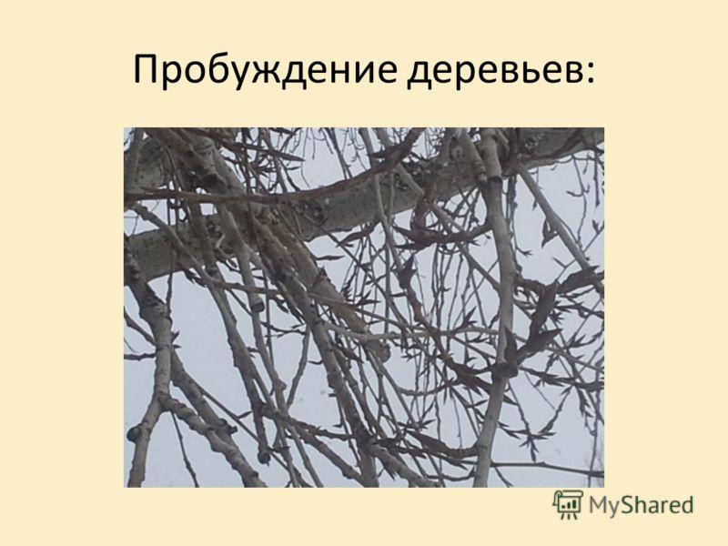 Пробуждение деревьев: