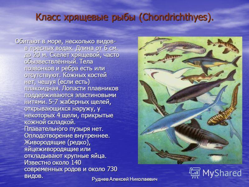 Руднев Алексей Николаевич Класс хрящевые рыбы (Chondrichthyes). Обитают в море, несколько видов- в пресных водах. Длина от 6 см. до 20 м. Скелет хрящевой, часто обызвествлённый. Тела позвонков и рёбра есть или отсутствуют. Кожных костей нет, чешуя (е