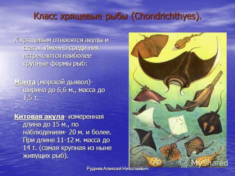 Руднев Алексей Николаевич Класс хрящевые рыбы (Chondrichthyes). К хрящевым относятся акулы и скаты. Именно среди них встречаются наиболее крупные формы рыб: Манта (морской дьявол)- ширина до 6,6 м., масса до 1,5 т. Китовая акула- измеренная длина до