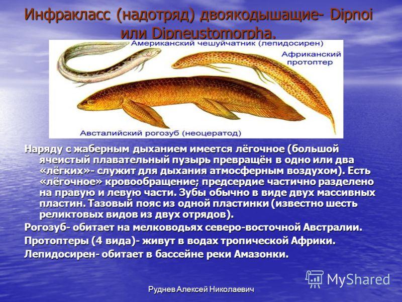 Руднев Алексей Николаевич Инфракласс (надотряд) двоякодышащие- Dipnoi или Dipneustomorpha. Наряду с жаберным дыханием имеется лёгочное (большой ячеистый плавательный пузырь превращён в одно или два «лёгких»- служит для дыхания атмосферным воздухом).