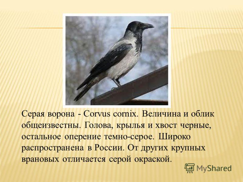Серая ворона - Corvus cornix. Величина и облик общеизвестны. Голова, крылья и хвост черные, остальное оперение темно-серое. Широко распространена в России. От других крупных врановых отличается серой окраской.