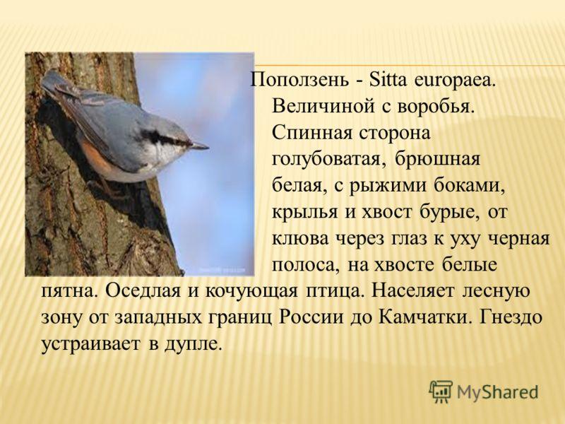 Поползень - Sitta europaea. Величиной с воробья. Спинная сторона голубоватая, брюшная белая, с рыжими боками, крылья и хвост бурые, от клюва через глаз к уху черная полоса, на хвосте белые пятна. Оседлая и кочующая птица. Населяет лесную зону от запа