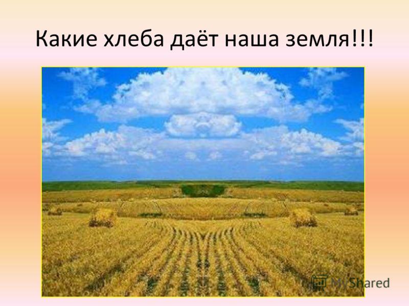 Какие хлеба даёт наша земля!!!