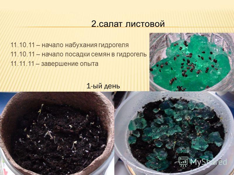 2.салат листовой 11.10.11 – начало набухания гидрогеля 11.10.11 – начало посадки семян в гидрогель 11.11.11 – завершение опыта 1-ый день