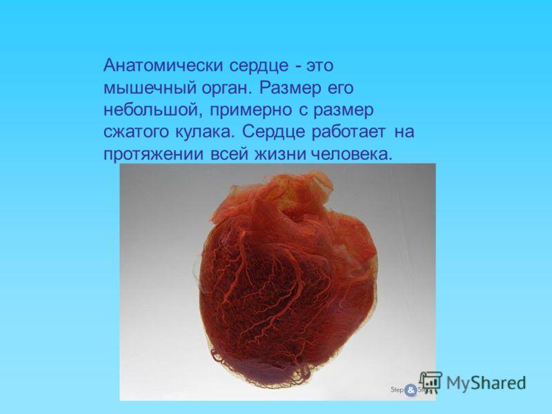 Анатомически сердце - это мышечный орган. Размер его небольшой, примерно с размер сжатого кулака. Сердце работает на протяжении всей жизни человека.