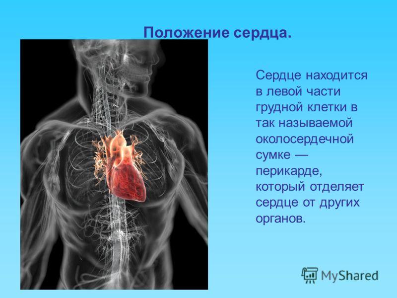Положение сердца. Сердце находится в левой части грудной клетки в так называемой околосердечной сумке перикарде, который отделяет сердце от других органов.
