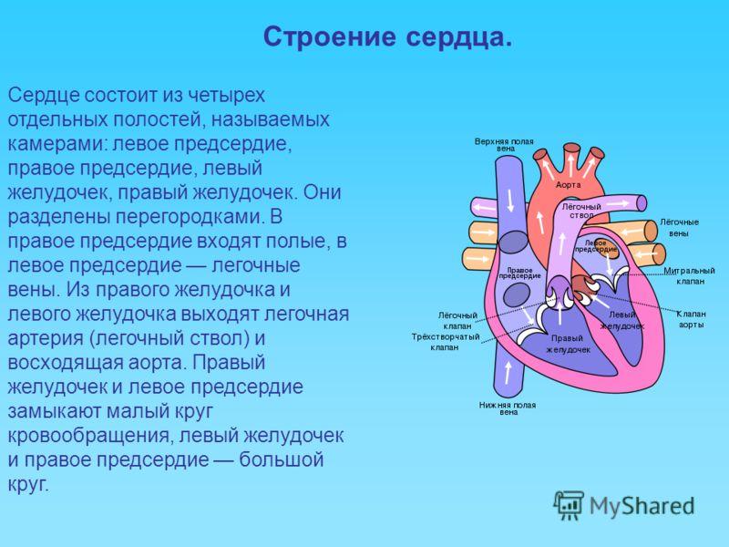 Строение сердца. Сердце состоит из четырех отдельных полостей, называемых камерами: левое предсердие, правое предсердие, левый желудочек, правый желудочек. Они разделены перегородками. В правое предсердие входят полые, в левое предсердие легочные вен