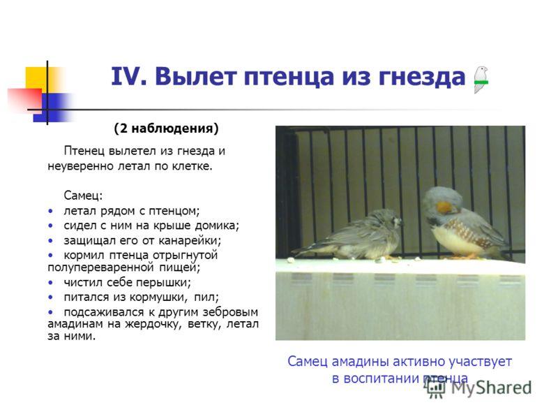 IV. Вылет птенца из гнезда Самец амадины активно участвует в воспитании птенца (2 наблюдения) Птенец вылетел из гнезда и неуверенно летал по клетке. Самец: летал рядом с птенцом; сидел с ним на крыше домика; защищал его от канарейки; кормил птенца от