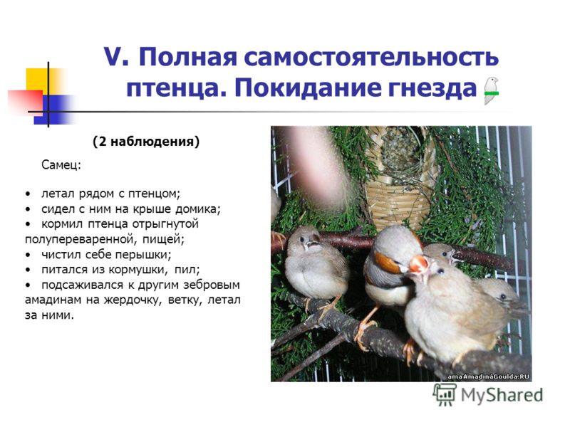 V. Полная самостоятельность птенца. Покидание гнезда (2 наблюдения) Самец: летал рядом с птенцом; сидел с ним на крыше домика; кормил птенца отрыгнутой полупереваренной, пищей; чистил себе перышки; питался из кормушки, пил; подсаживался к другим зебр