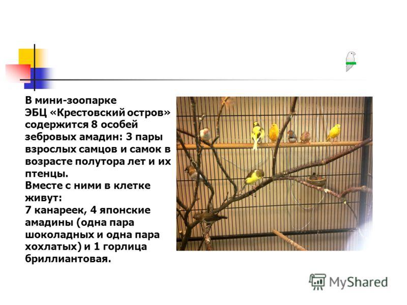 В мини-зоопарке ЭБЦ «Крестовский остров» содержится 8 особей зебровых амадин: 3 пары взрослых самцов и самок в возрасте полутора лет и их птенцы. Вместе с ними в клетке живут: 7 канареек, 4 японские амадины (одна пара шоколадных и одна пара хохлатых)