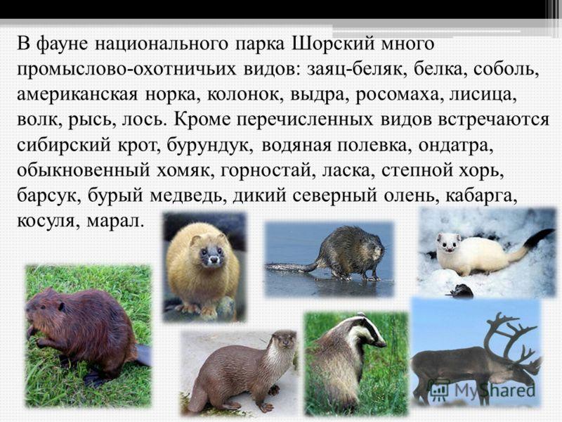 В фауне национального парка Шорский много промыслово-охотничьих видов: заяц-беляк, белка, соболь, американская норка, колонок, выдра, росомаха, лисица, волк, рысь, лось. Кроме перечисленных видов встречаются сибирский крот, бурундук, водяная полевка,
