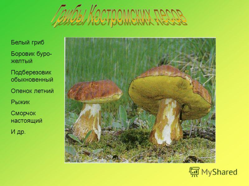 Белый гриб Боровик буро- желтый Подберезовик обыкновенный Опенок летний Рыжик Сморчок настоящий И др.